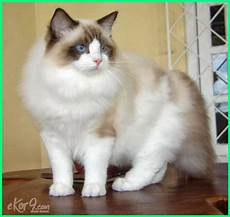 17 Gambar Jenis Kucing Yang Paling Cantik Di Dunia Dunia