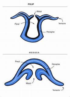 Jelaskan Struktur Dan Fungsi Lapisan Tubuh Cnidaria