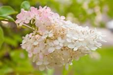 Rispenhortensie 187 Pflanzen Pflegen Schneiden Und Mehr