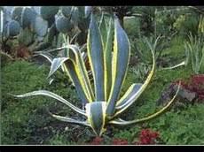 plante grasse plantes grasses aloe gymnocalycium espostoa cereus