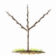 Cerisier Reverchon Taille En Palmette Oblique Palmette