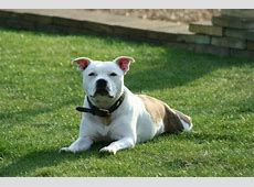 Do Staffordshire Bull Terriers make good pets for families