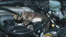 Marder Im Auto - marder im auto was wirklich gegen angenagte kabel hilft