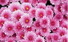 flower wallpaper free dahlia background pixelstalk net