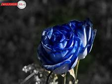 My Toroool HD Wallpaper Of Blue Rose