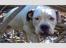 Scared Pit Bull Rescued From Sad Life Of Isolation [VIDEO