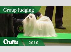 Maltese wins Toy Group Judging at Crufts 2010   Crufts