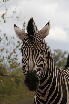 zebra bild zebra kopf foto bild tiere wildlife s 228 ugetiere