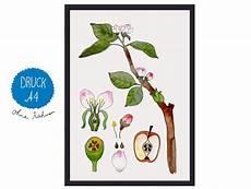 Malvorlage Apfel Din A4 Apfel Kunstdruck Kunstdruck Mit Apfelbl 252 Te Apfel Zweig