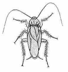 American Cockroach Diagram Sketch Coloring Page