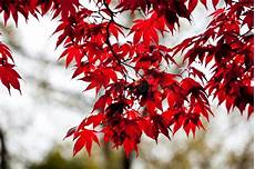 Japanese Acer Maple Leaves Stock Image Image Of