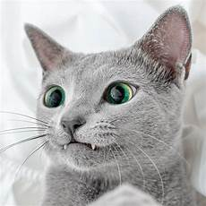 blue cats mesmerizing photos of russian blue cats with green