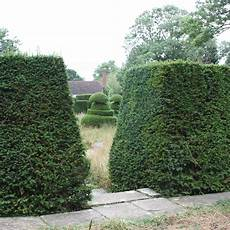Eibe Taxus Baccata - buy yew taxus baccata delivery by crocus