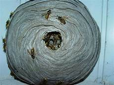 petit nid de guepe les hym 233 nopt 232 res