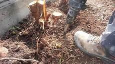 thuja ausgraben wurzel entfernen mit einer hilti