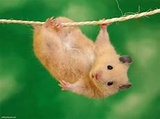 Best Stuff Hamster