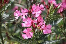 oleander ableger ziehen oleander vermehren anleitung f 252 r samen stecklinge und
