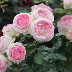 rosiers grimpants anciens rosier grimpant de ronsard 174 meiviolin rosiers
