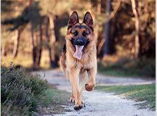 Running German Shepherd dog photo and wallpaper. Beautiful