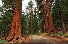 eqoi7a the california drought is killing sequoias daily