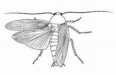 Biological Drawings Insects Cockroach Periplaneta