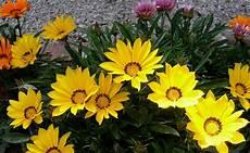 fleur vivace plein soleil gazania plante de plein soleil fleur vivace plantation entretien