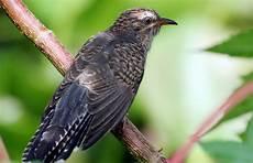 Mengatasi Burung Yang Kemasukan Suara Wiwik Uncuing Atau
