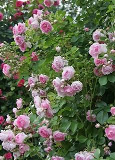 Jasmina Kletterrosen Und Blumen