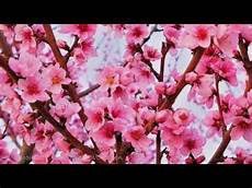 fiori di rosa fiori di pesco lucio battisti fiori rosa fiori di pesco lyrics