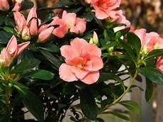 fiori azalee azalee piante appartamento azalee caratteristiche