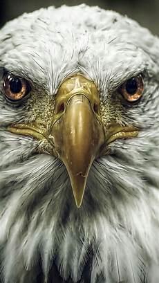 bald eagle iphone wallpaper 90 best wolf eagle images on bald eagles