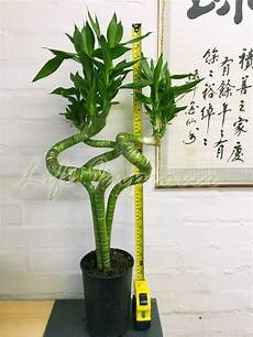 1 unusal lucky tiger bamboo 3 trunks plants