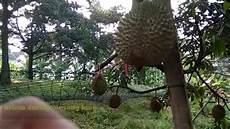 Kebun Durian Musang King Dan Cara Kawin Sisip Pokok Durian