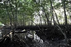 Mongabay Travel Wisata Hutan Bakau Kuala Langsa