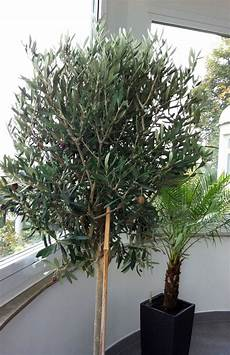 Oleander Draussen überwintern - olivenbaum 252 berwintern
