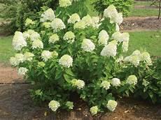 Hydrangea Paniculata Panicle Hydrangea Best Grown In