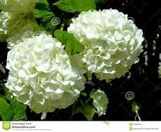 fiore a palla snowball blossoms stock photo image 40530964