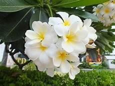 fiore frangipane fiore frangipane piante da giardino caratteristiche