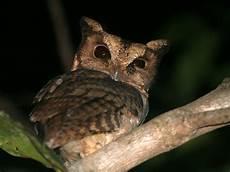 Keanekaragaman Burung Yang Ada Di Bumi Otus Siaoensis
