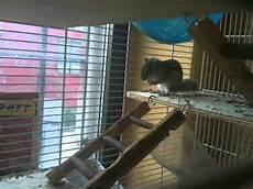 gabbia per scoiattoli fai da te la scoiattola squicky tornata ieri dal letargo