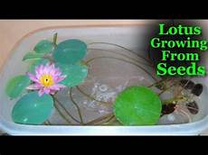 how to grow lotus from seed day how to grow lotus from seeds at home lotus growing in