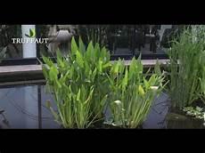 plante de bassin cultiver la pontederia lanceolata