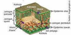 Struktur Dan Fungsi Organ Epidermis Mesofil Dan Jaringan