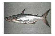 Gambar Ikan Patin Dunia Binatang