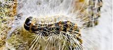 mit hubschraubern gegen giftige raupen