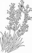 Implantation Lavender Flower Coloring Pages  Download