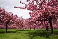 Fleurs De Ou Fleurs De Cerisier Japonais Only
