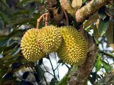 7 Manfaat Buah Durian Bagi Kesehatan Rickypedia