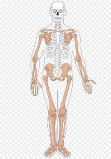 Anatomi Kerangka Tubuh Manusia Kesehatan Anda