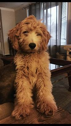 images puppy cut for a goldendoodle harlow goldendoodle goldendoodle dogs goldendoodle puppy